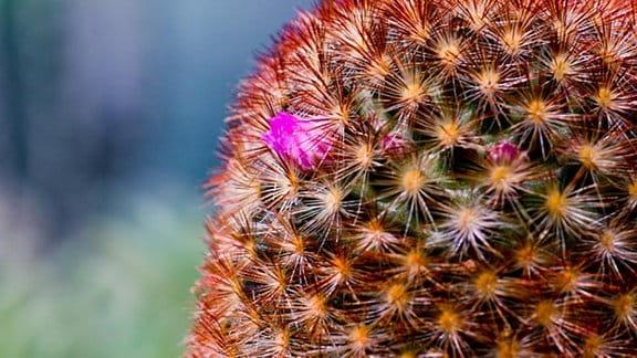 Kaktus mit Ausrutscherblüte