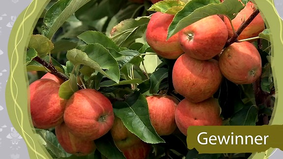 Äpfel, Gewinner des Klimawandel
