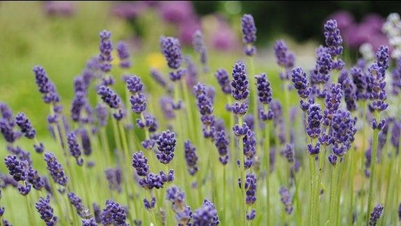 Nauaufnahme von dunkelblau-lila Lavendel-Blüten.