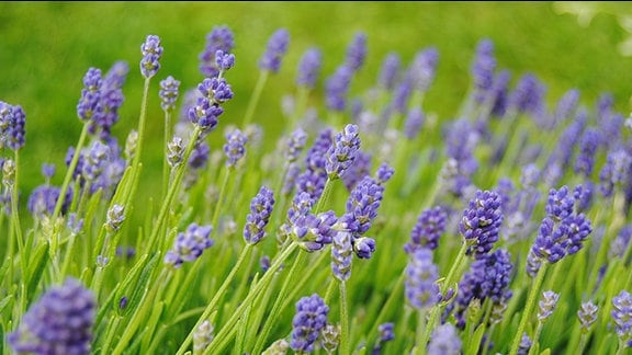 Nahaufnahme von Dutzenden dunkellila Lavendel-Blüten.