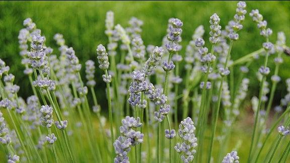 Nahaufnahme von gerade aufblühenden, hellblau gefärbten Lavendel-Blüten.
