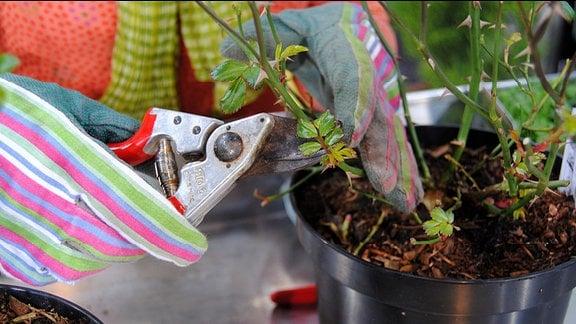 Eine Hand in einem bunt gestreiften Gartenhandschuhe hält eine Rosenschere an einen Rosenstrauch