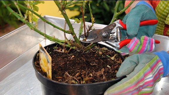 Eine Hand in einem bunt gestreiften Gartenhandschuhe hält eine Rosenschere an einen vertrockneten Trieb an einem Rosenstrauch