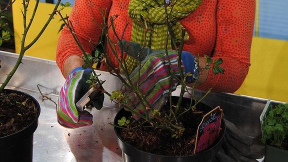 Eine Frau mit bunt gestreiften Gartenhandschuhe schneidet eine Rose in einem Pflanzgefäß zurück
