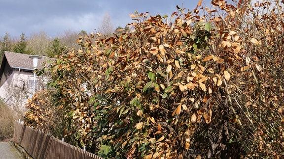 Kirschlorbeer mit vielen braunen Blättern.