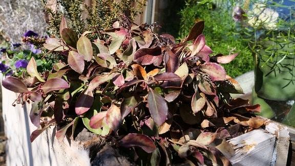 Rotbraun verfärbte Blätter einer Rebhuhnbeere.