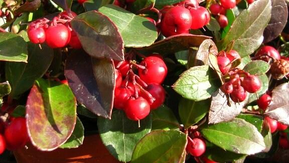 Scheinbeere Gaulteria mit roten Beeren