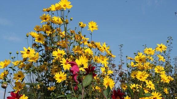 Blühende Staudensonnenblumen