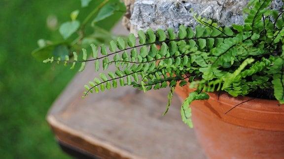 Eine kleine Farn-Pflanze mit schmalen, länglichen Wedeln in einem Topf, in dem auch ein Stein liegt
