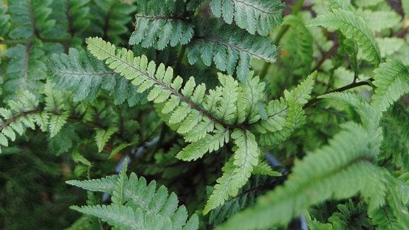 Grün-graue Farnwedel einer Farn-Pflanze in einem Topf
