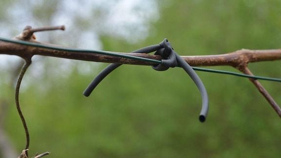 Ein Weintrieb wurde mit einem dünnen Schlauch an einem Draht angebunden
