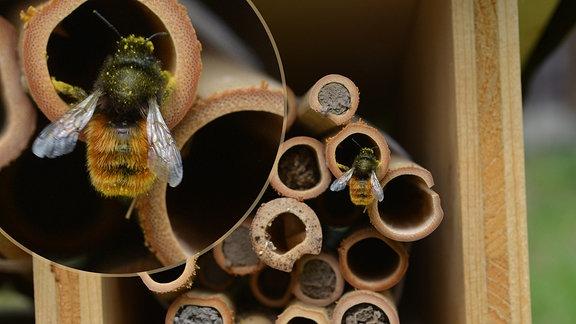 Gehörnte Mauerbiene vor Insektenhotel