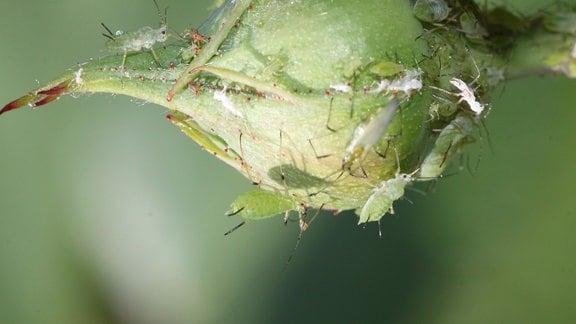 Blattläuse an einer Rosenknospe