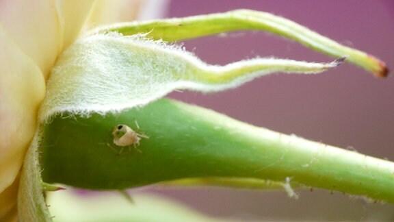 Hohle Blattlaus auf einer Blüte