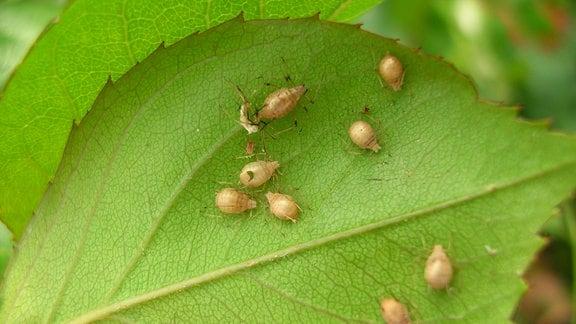 Hohle Blattläuse auf einem Blatt