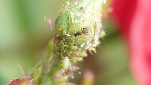 Schlupfwespe und Läuse auf einer Blüte