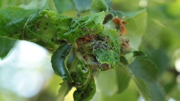 Läuse an gekräuselten Blättern