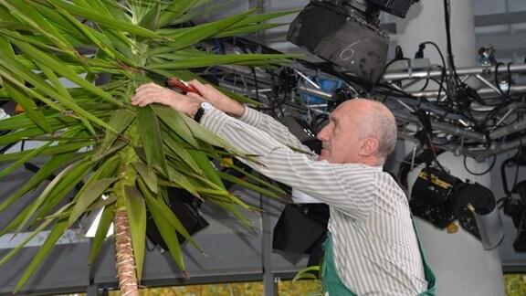 Jürgen Meister sägt Krone einer Yucca Palme ab.