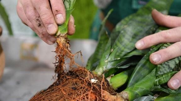 Eine Sanseveria liegt ohne Topf auf dem Tisch, die Pflanze wird mit der Hand geteilt.