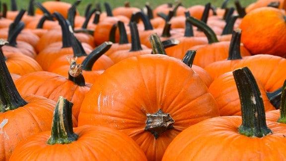 Viele Halloween-Kürbisse liegen hintereinander