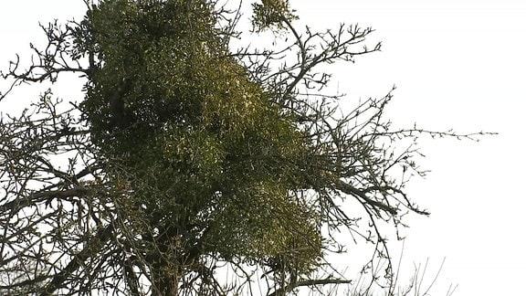 Mistel im Baum