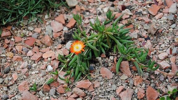 Ein orange blühendes Mittagsblümchen wächst auf einem mit Kies bedeckten Boden in einem Steingarten