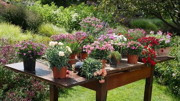 Auf einem Holztisch stehen zahlreiche Nelken in Pflanztöpfen.