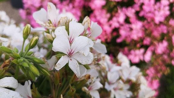 weiße und rosa Pelargonien