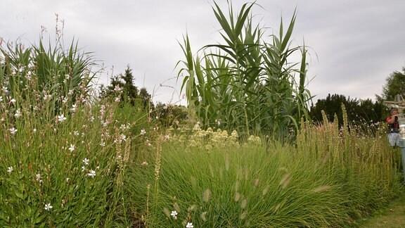 Hohes Gras, das an Mais erinnert.