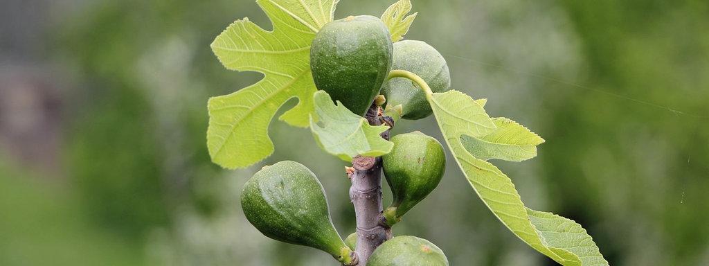 feigenbaum düngen