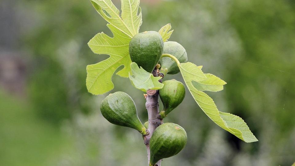 Super Feigen pflanzen, pflegen und vermehren | MDR.DE #ZH_62