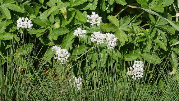 Verschiedene Allium der Sorte 'graceful beauty' mit kleinen weißen Blüten.