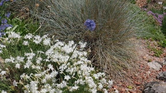 Eine blaue Blüte des Enzianlauchs ragt aus einem Beet mit weißen Blüten.