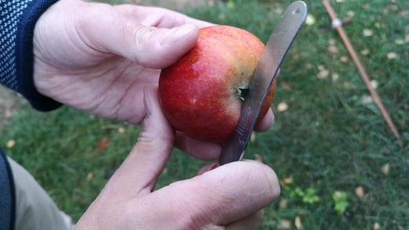 Apfel aufschneiden und Reife anhand der Kerne feststellen