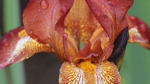 Gelb-orange-rote Blüte einer Iris-Pflanze