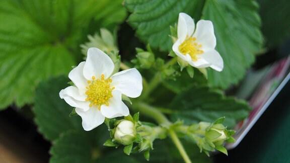Weiße Blüten an Erdbeere der Sorte 'Schneewittchen'