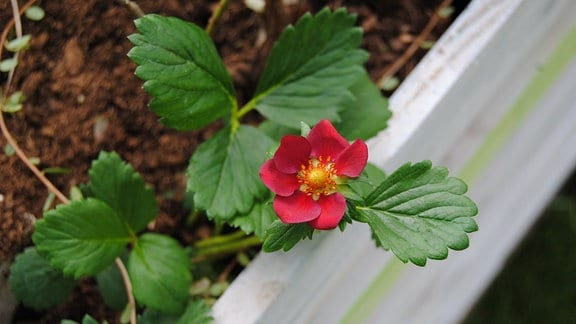 Pinkfarbene Blüte an Erdbeere der Sorte 'Viva Rosa'