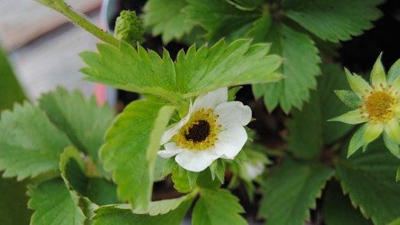 Erdbeerpflanze mit erfrorener Blüte