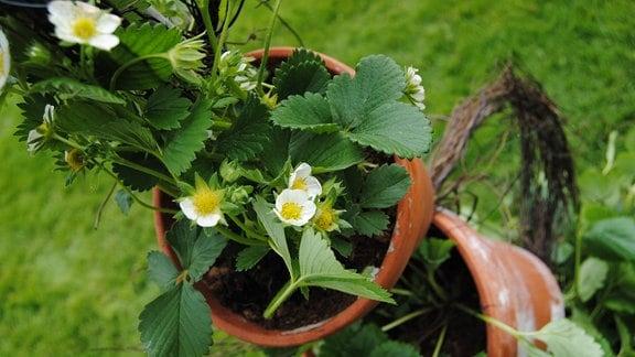 Ampel mit Tontöpfen und Erdbeerpflanzen