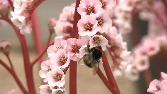 Blüte einer Bergenie mit Hummel
