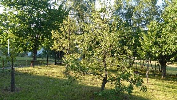 Ein Birnenbaum in einem Thüringer Garten.