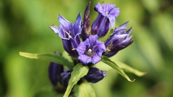 Schwalbenwurz-Enzian mit lila Blüten.