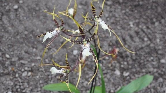 Orchideen Brassia-Toskana