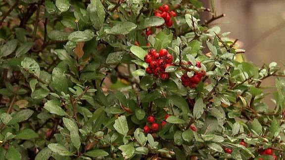 Feuerdorn mit roten Beeren