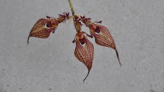 Orchideen Bulbophyllum-ornatissimum