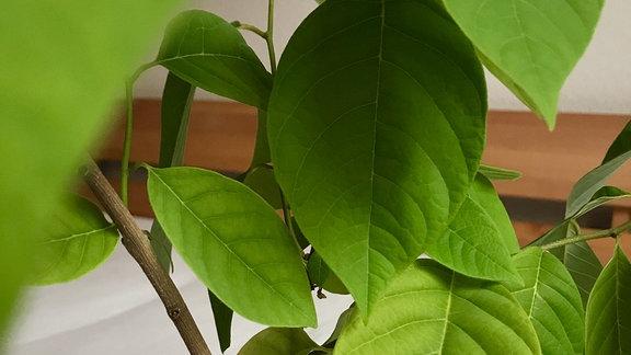 Cherimoya-Pflanze im Topf