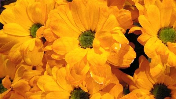 Ein Strauß gelbe Chrysanthemen