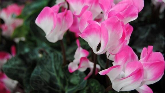 Rosa-weiß blühendes Alpenveilchen der Sorte 'Indiaka Fuchsia'
