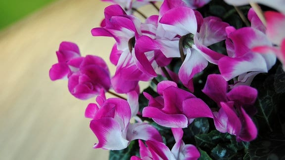Violett-weiß blühendes Alpenveilchen der Sorte 'Indiaka Saumon'