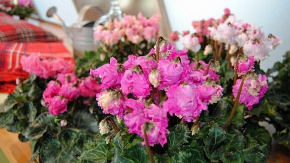 Pink blühende Alpenveilchen der Sorte 'Latinia Pipoca'